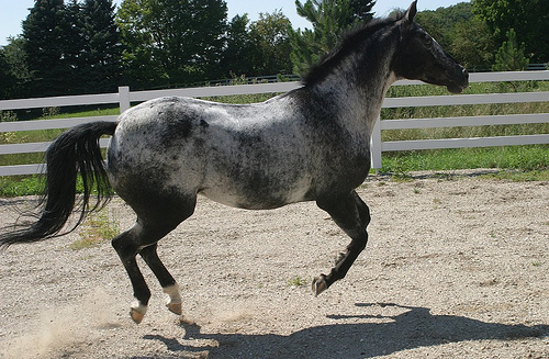 appaloosa horse club. The Appaloosa Horse Club